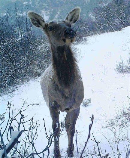 Elk on N. Rim