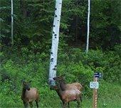 Elk on trail during closure